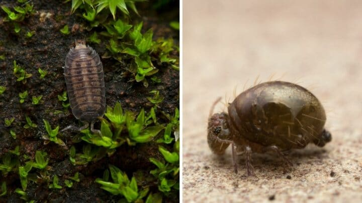 How to Keep Isopods and Springtails in a Terrarium