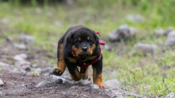 Miniature Rottweiler Breed – All You Need To Know