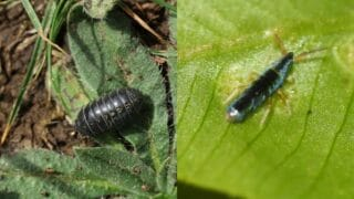 Isopods and Springtails