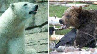 Polar Bear vs Grizzly Bear — Who Would Win