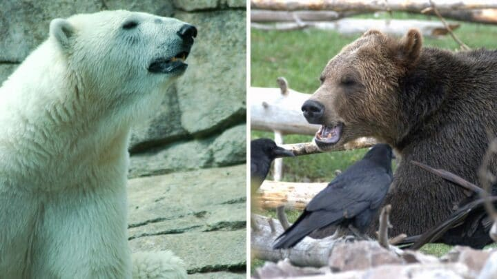 Polar Bear vs Grizzly Bear — Who Would Win?