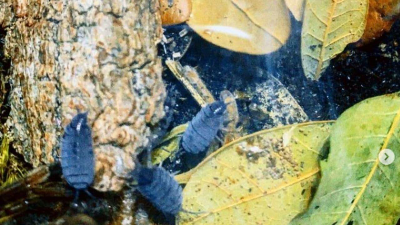 Powder Blue Isopod