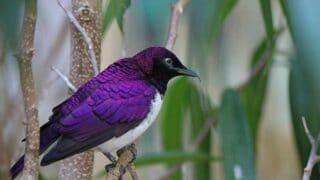 Purple Bird Breeds