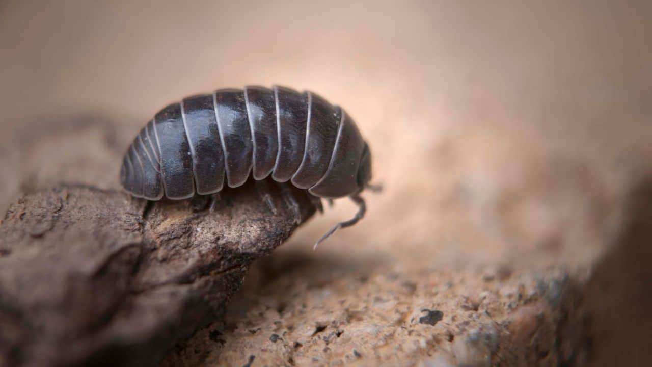 Roly-poly Bugs