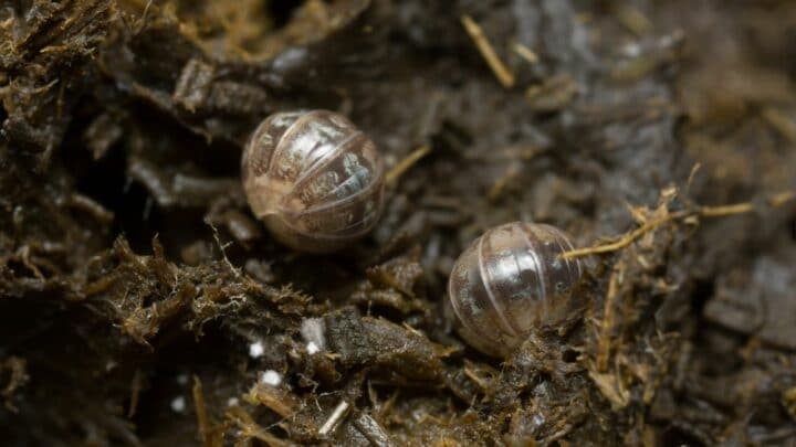 Terrestrial Isopods — All You Need to Know about Them