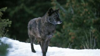 The Biggest Wolf Breed