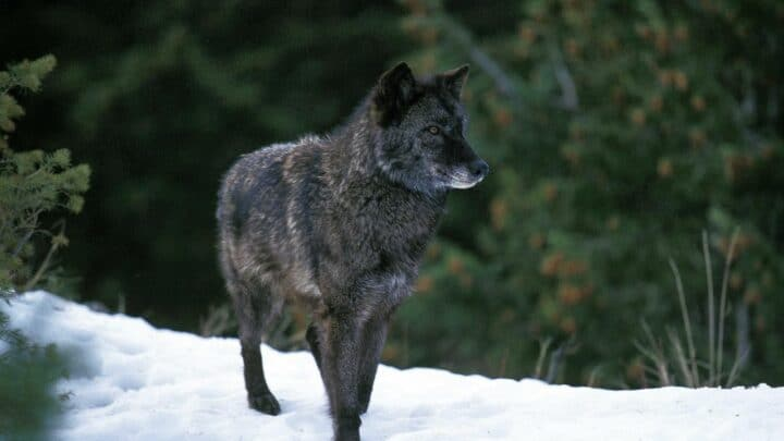 The Biggest Wolf Breed You'll Ever See! Nice!