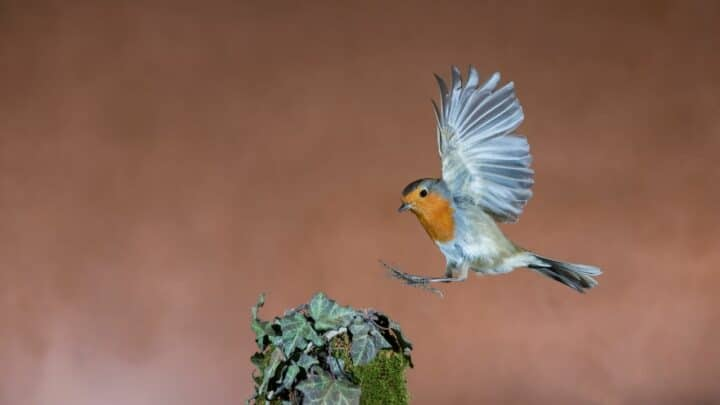 What Animals Eat Robins? Let's See!