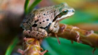 What Pacific Tree Frogs Eat