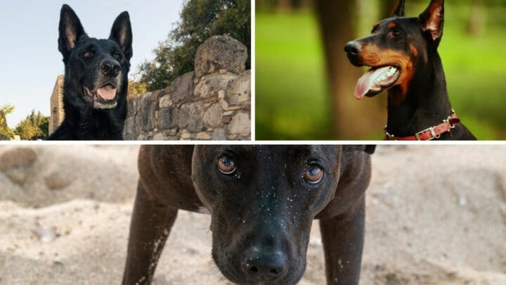 What Real Dog Resembles a Hellhound the Most? Ooh, Scary!