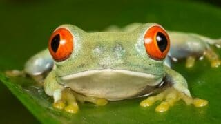 What Red Eye Tree Frogs Eat