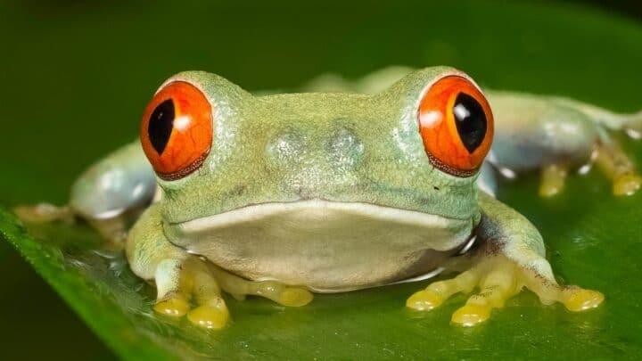 What Red Eye Tree Frogs Eat — Interesting Menu!