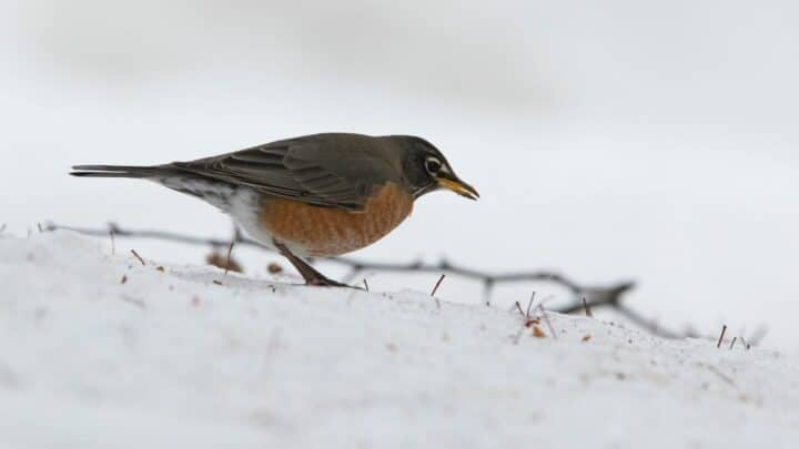 What Robins Eat In The Winter — The Answer!