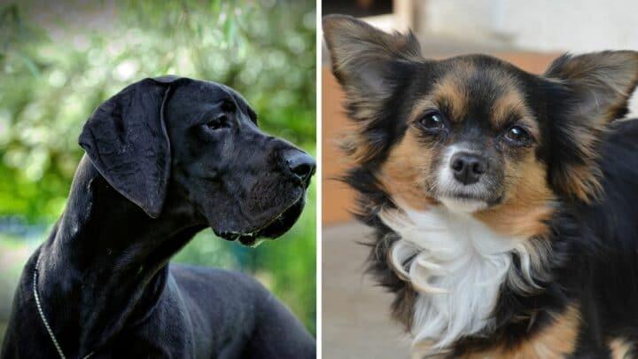 What a Great Dane Chihuahua Mix Looks Like — Wow!