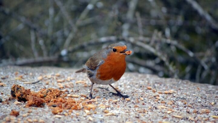 What to Feed Robins — Food Robins Love the Most