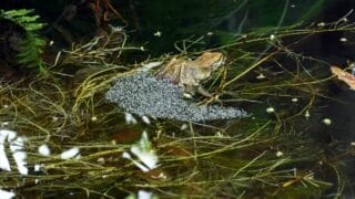 When Do Frogs Lay Eggs