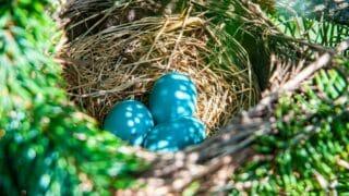 When Robins Lay Eggs