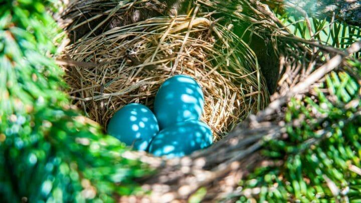 When Robins Lay Eggs — Wow!