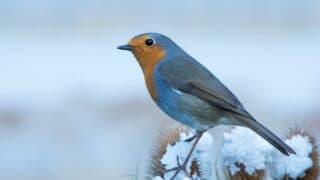 Where Robins Go in the Winter