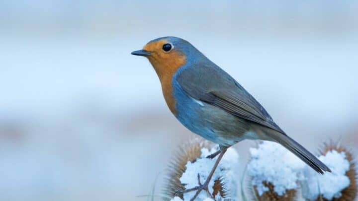 Where Robins Go in the Winter — Busted!