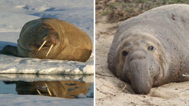 Who Would Win in a Fight a Walrus or an Elephant Seal?