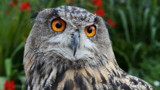 Why Do Owls Attack Eagles