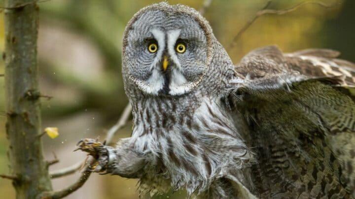 Why Do Owls Have Short Legs? Secret Revealed!