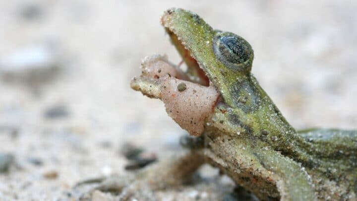Why Frogs Croak — The Answer's Here!