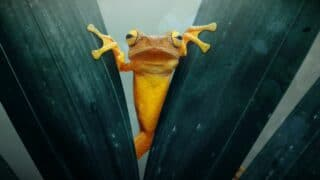 Why Frogs Scream