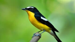 Yellow Bird with Black Wings