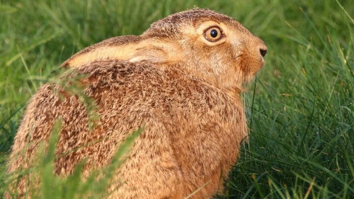 Can a Rabbit be Scared to Death? Yes or No?