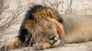 Do Black Lions Exist