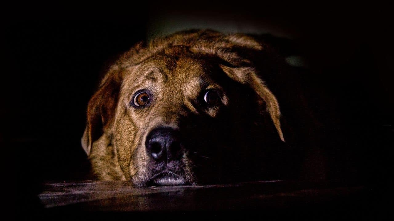 Fear or Anxiety in a Dog