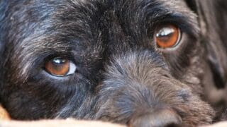 Growing Black Stain in a Dog's Lower Eyelid