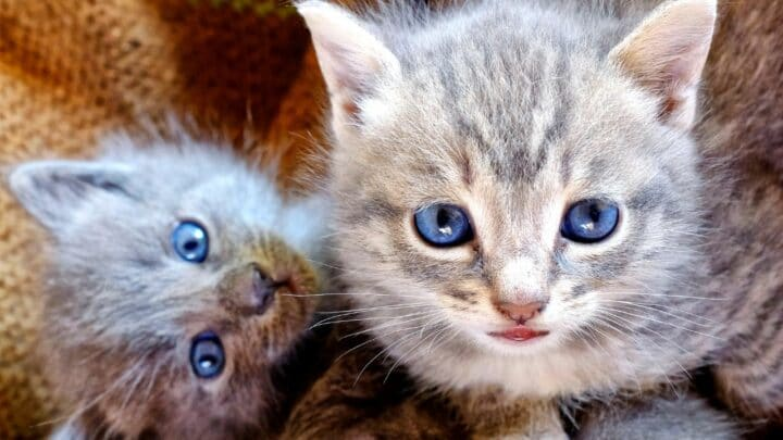 How to Tell if a Kitten Will have Short or Long Hair – Aha!