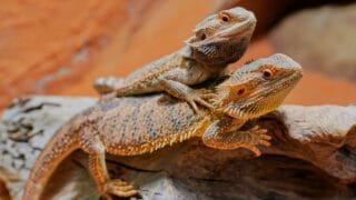 How Do I Tell the Sex of a Bearded Dragon