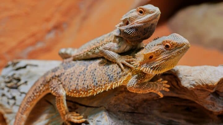 How to Tell the Sex of a Bearded Dragon – The Answer