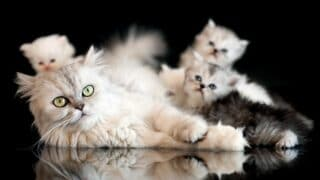 How Is It Healthier for a Cat to Breed BeforeBeing Spayed or Neutered