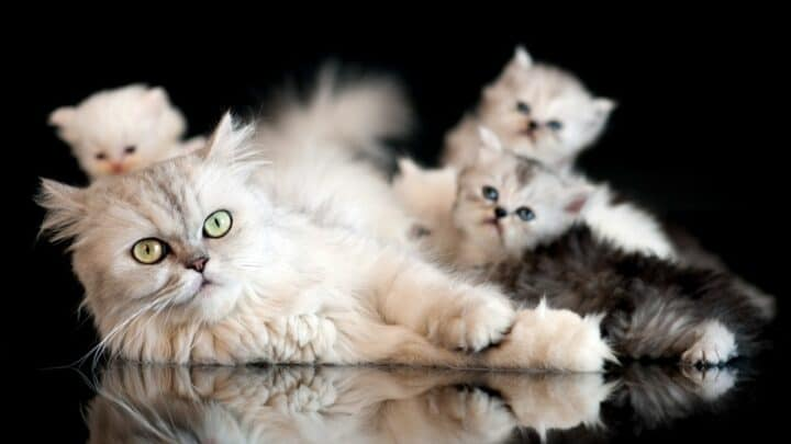 Is It Healthier for a Cat to Breed Before Being Spayed or Neutered?