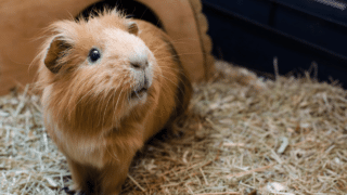 How Long You Should Leave a Guinea Pig Before Introducing a New Partner