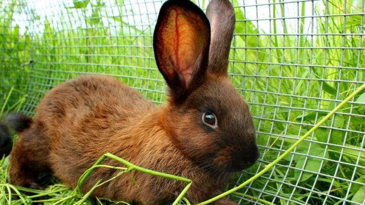 How To Put Rabbit In Cage Without Scratching Me? Nice!