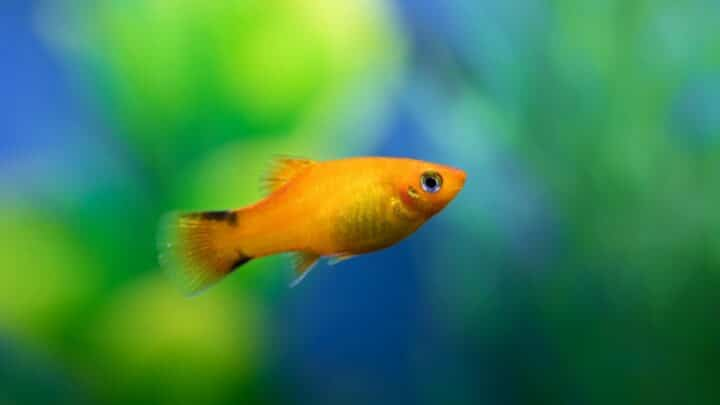 How a Pregnant Platy Fish Looks Like — Interesting!
