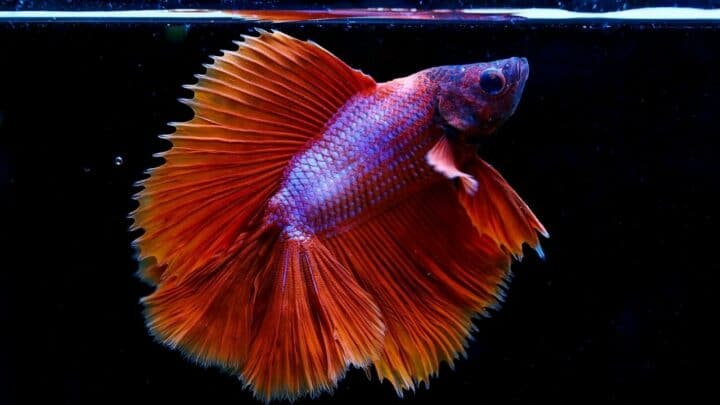 Large White Spot on Betta Fish — What is It?