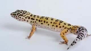 Leopard Geckos Toes Look Blackish Purple — What is Going On
