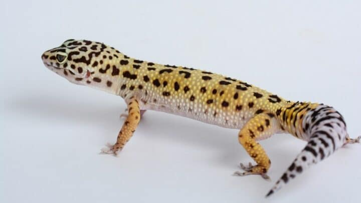 Leopard Geckos Toes Look Blackish Purple — What is Going On?