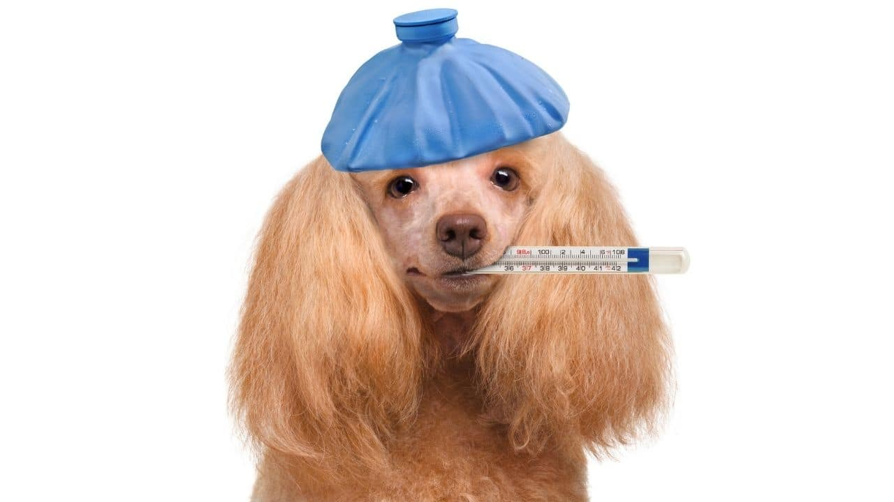Medical issues in a dog