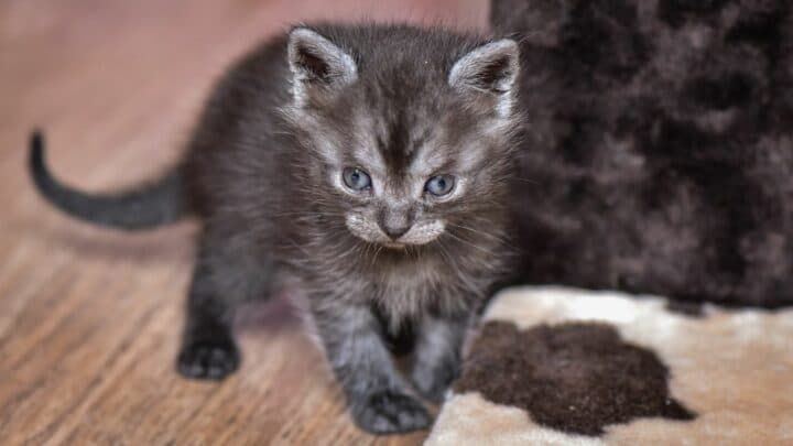 My Kitten Has a Pot Belly Appearance – Is it Normal?