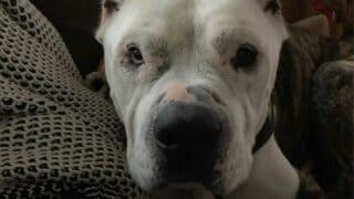 Pitbull Bulldog Mix