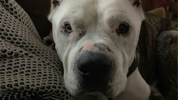 How a Pitbull Bulldog Mix Looks Like — The Bullypit!