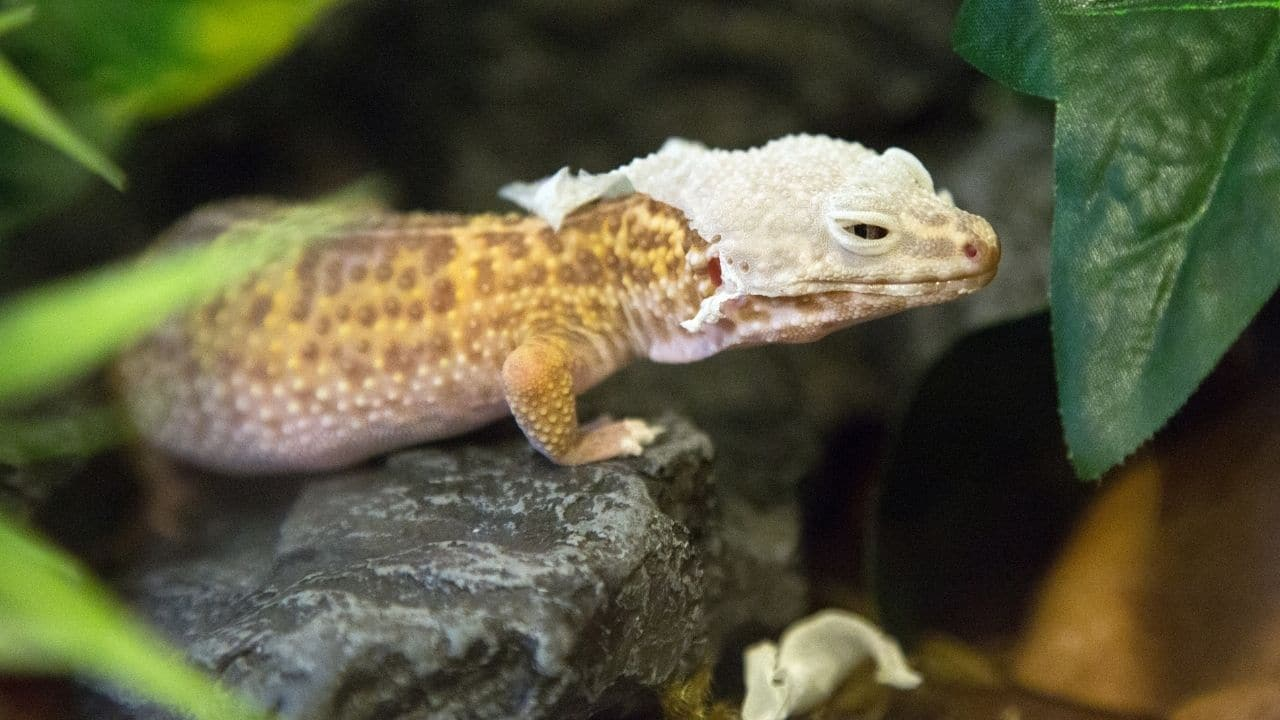 Shedding Leopard Gecko